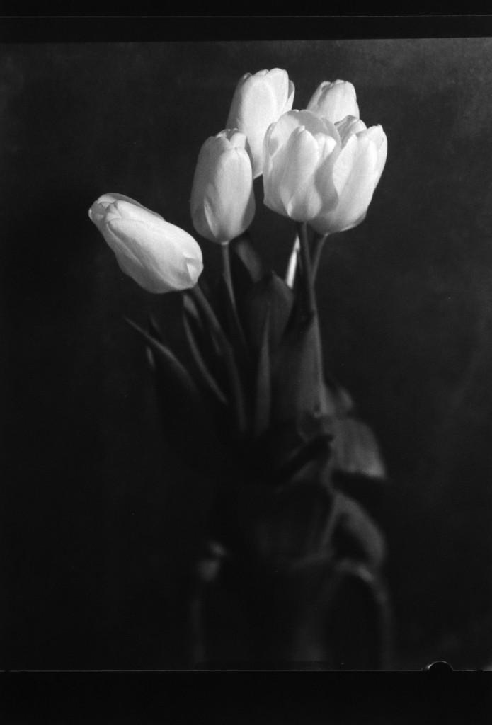 Tulipani-rosa_particolare